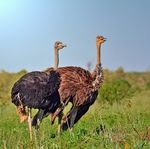Title: Ostrich Couple