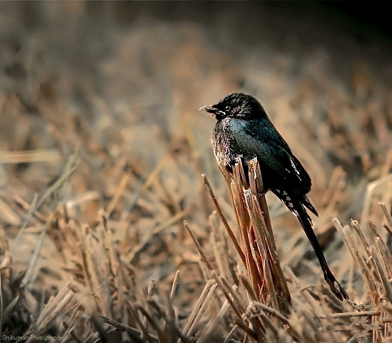 Barren Land And A Drongo