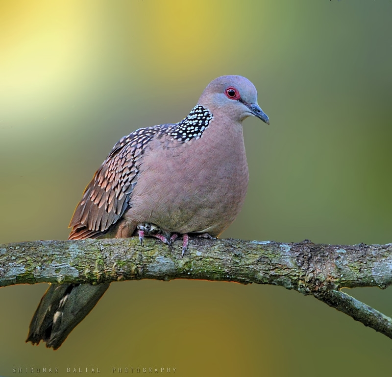 Spotted Dove 🕊