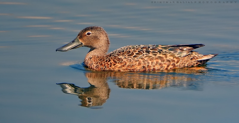Cape Shoveler (Female)