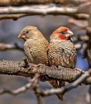 Title: Red-Headed Finch Couple