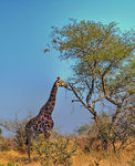 Title: African Savanna And A Giraffe