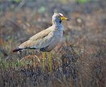 Title: African Wattled Lapwing