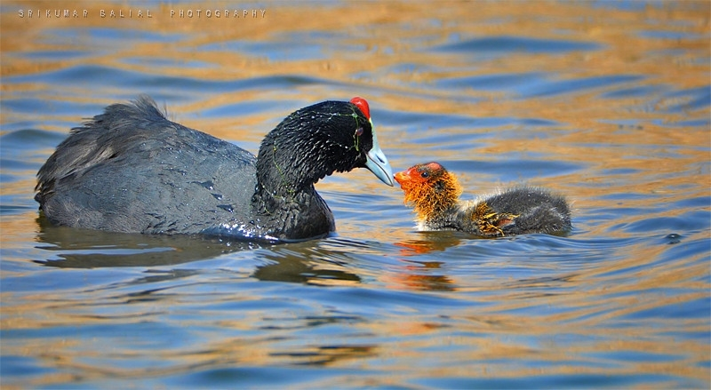 Mother And Chick - Red-Knobbed Coot