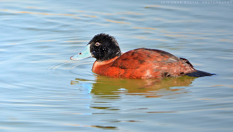 Maccoa Duck (Male): New Bird For TN