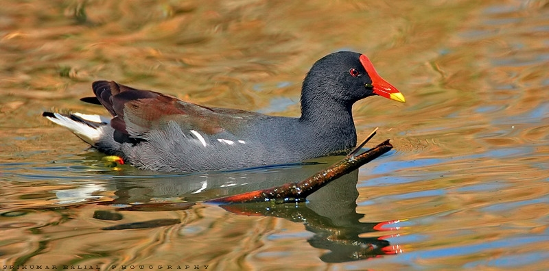 African Common Moorhen