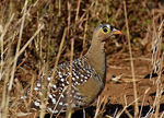 Title: Double Banded Sandgrouse (Male)