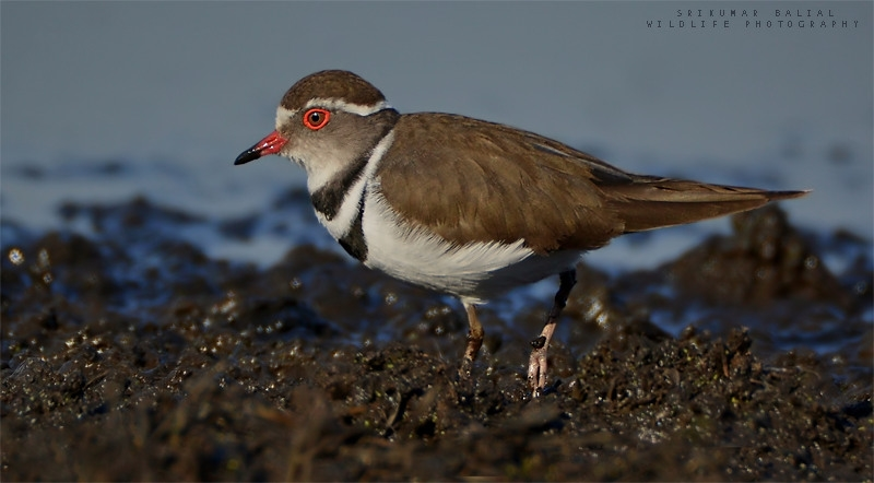Three - Banded Plover