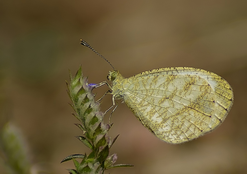 Yellow Psyche Butterfly