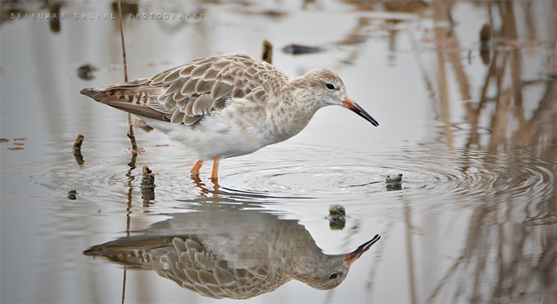 Ruff (Female)