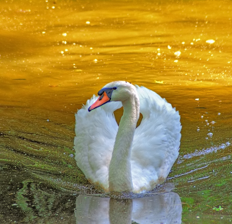 Mute Swan: Introduced In South Africa