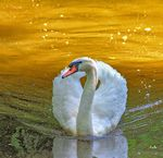Title: Mute Swan: Introduced In South Africa