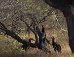 Title: Savanna Biome And Ground Hornbills