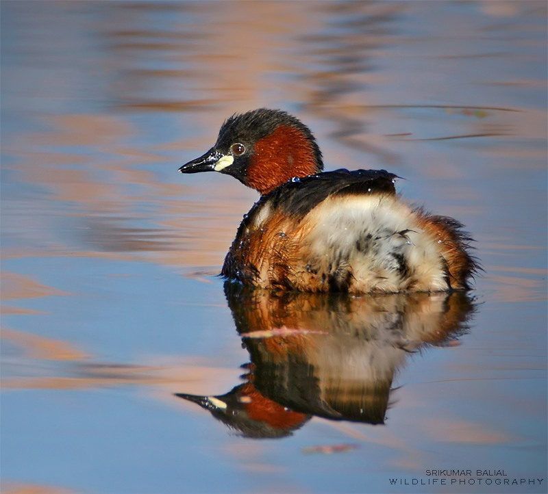 Little Grebe (Breeding Plumage)