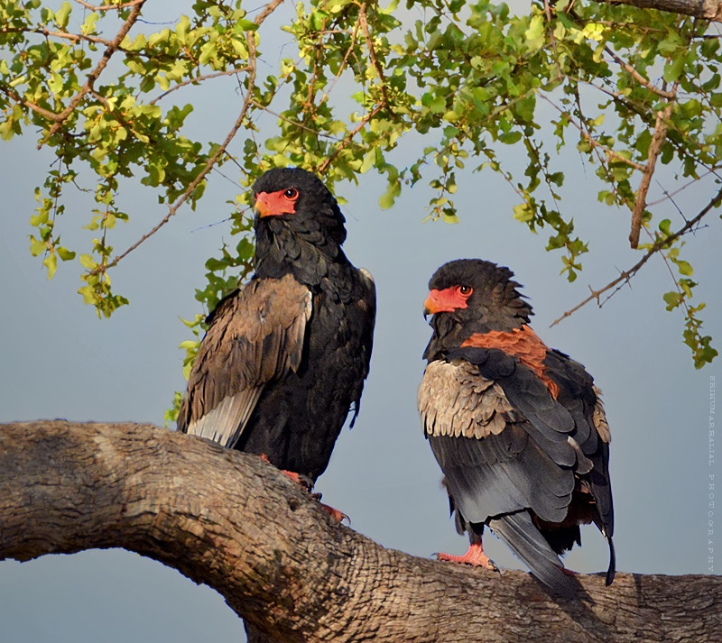 Bateleur Eagle (Adult)