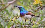Title: White-Bellied Sunbird (Male)