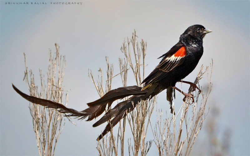 Long-Tailed Widow  Bird (Male)