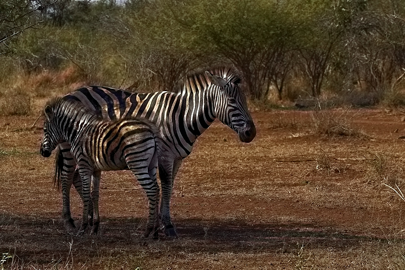 Mother Zebra And Foal