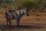 Title: Mother Zebra And Foal
