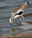 Title: White Crowned Lapwing