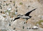Title: Young spotted shag trying to land