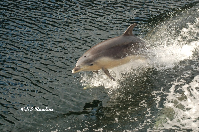 Bottlenose dolphin at speed