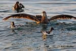 Title: Northern Giant Petrel