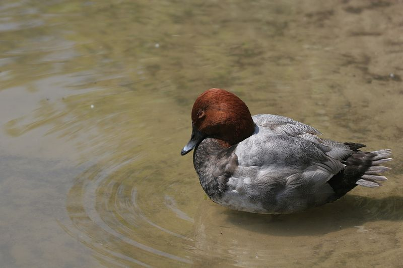 Common Pochard (male, breeding season)
