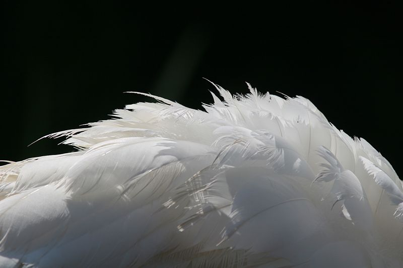 Swan's feathering
