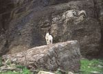 Title: Mountain Goat