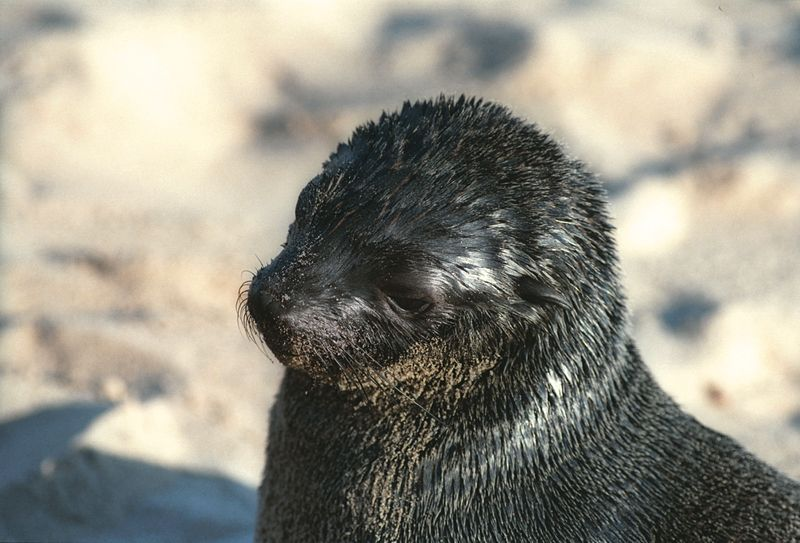 young Cape fur seal