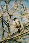 Title: Red-eyed  Bulbul