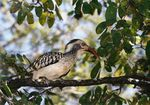 Title: Red-billed Hornbill