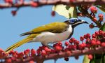 Title: Blue-Faced Honeyeater