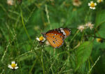 Title: Common Tiger Butterfly