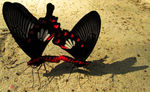 Title: Butterfly Mate Together