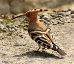 Title: Common Hoopoe