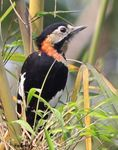 Title: Crimson breasted Woodpecker(female)