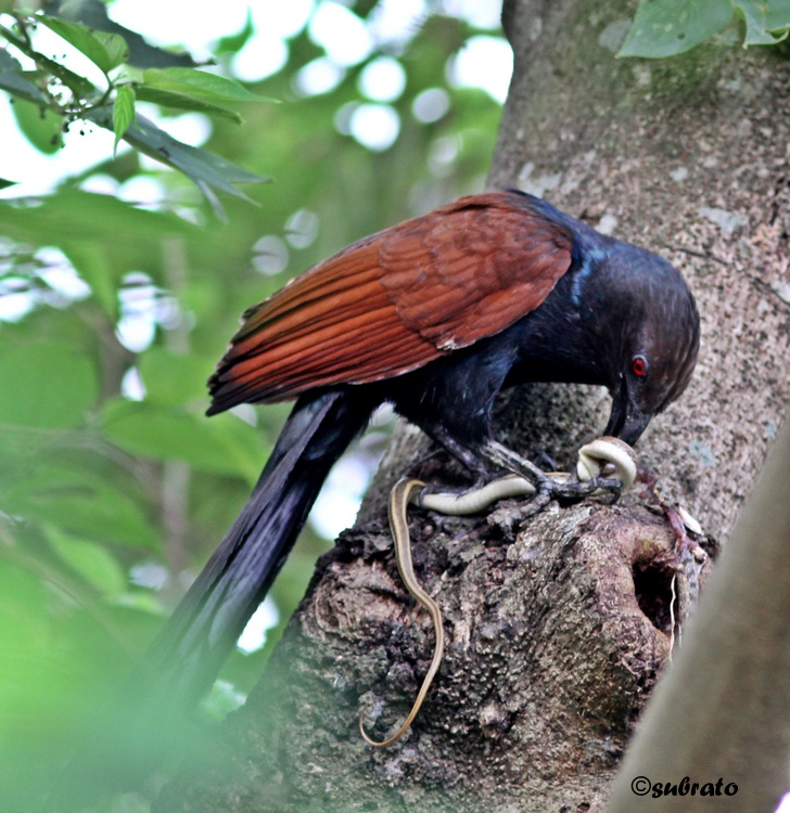 Greater Coucal with a catch