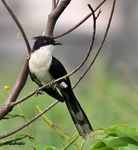 Title: Pied Cuckoo