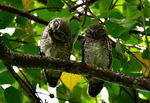 Title: Spotted Owlet