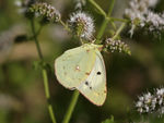 Title: Colias croceus female (Fourcroy, 1785)