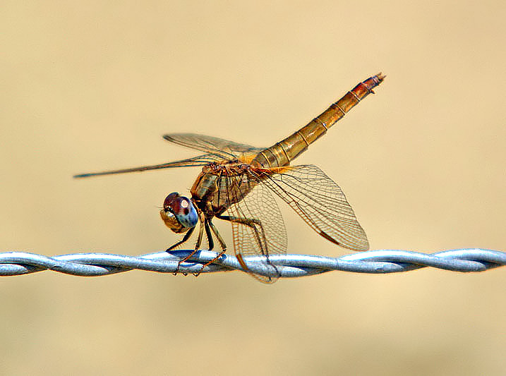 Scarlet Dragonfly, female