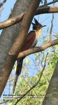 Title: Red-Winged Crested Cuckoo