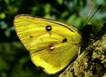 Title: Clouded Yellow Butterfly