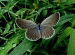 Title: Common Blue Butterfly