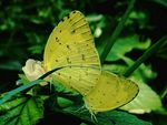 Title: Common Grass Yellow~ Mating