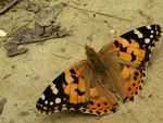 Title: The Painted Lady