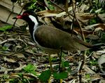 Title: Red Wattled Lapwing