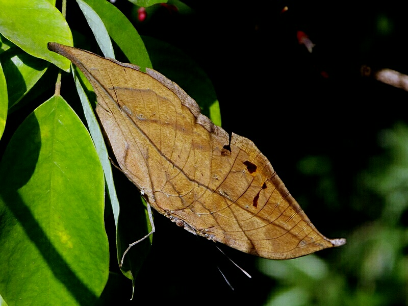 Indian Leaf Butterfly Photo